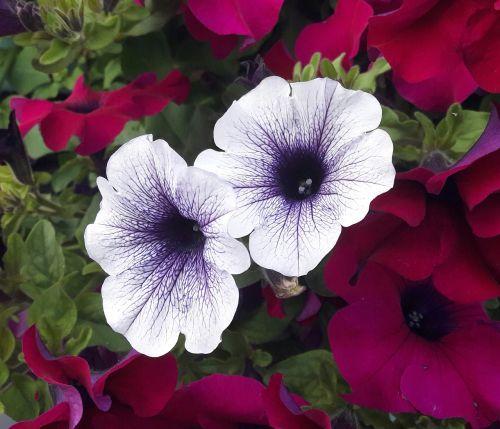 petunia white blue