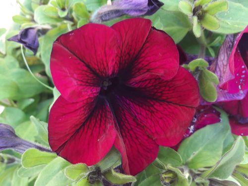 petunia red petunia flower