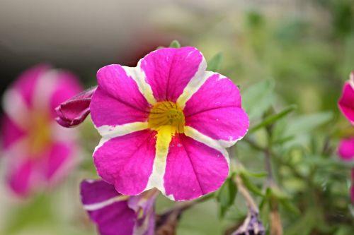 petunia garden petunia solanaceae