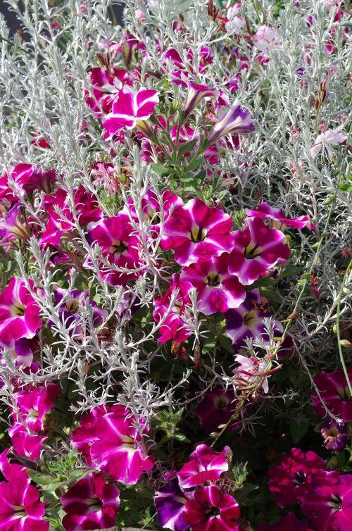 petunia spirit herb balcony plants