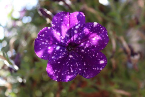 petunia violet blue