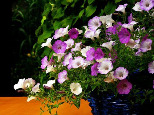 petunia flower blossom