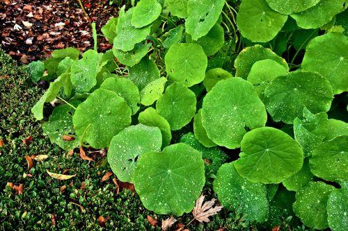 petunia plant petunia leaves