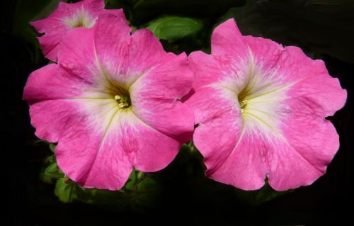 petunia flowers garden