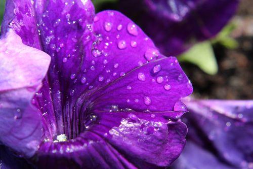 petunia nachtschattengewächs blossom