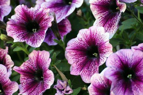 petunia  purple  flowers