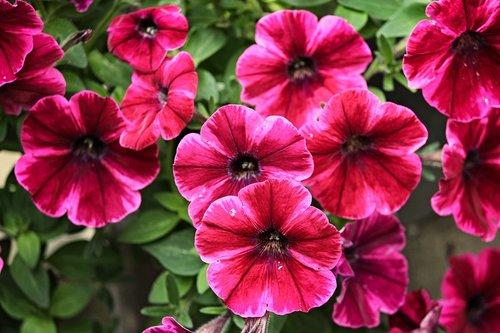 petunia  garden petunia  nachtschattengewächs