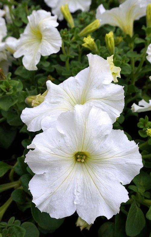 petunia  white  blossom