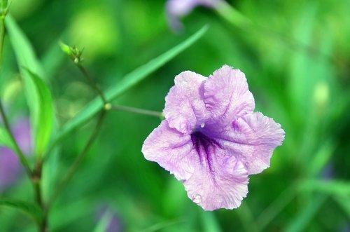 petunia  ruellia simplex  mexican petunia