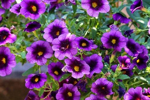 petunia  violet  close up