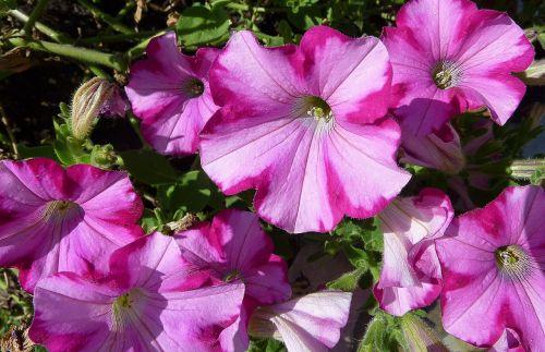 petunia nachtschattengewächs solanaceae