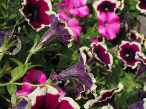 petunia flowers purple