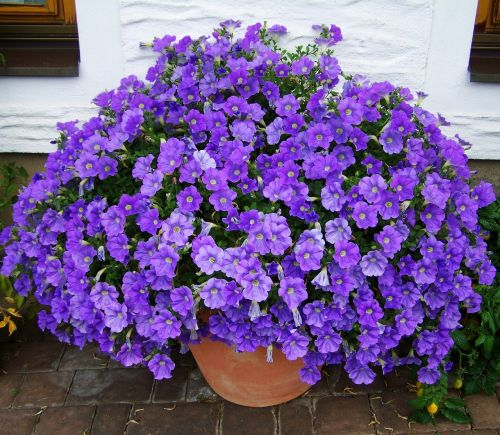 petunia bluish-purple summer flower