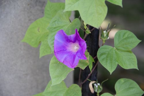 petunia plant flowers
