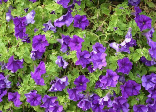 petunia purple green leaves flowers