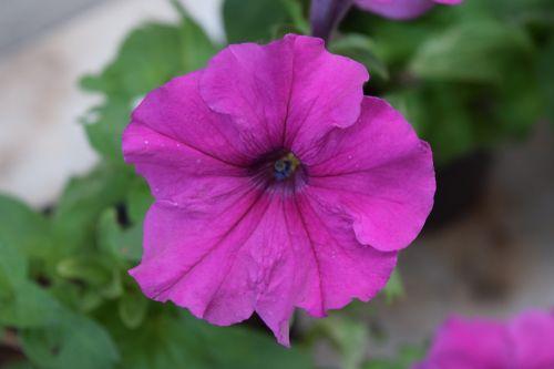 petunia hybrida flower