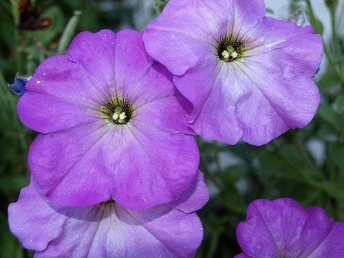 petunias  flower petunia  flowers