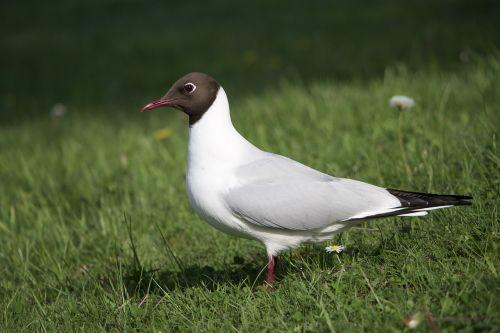 pewit bird peewit