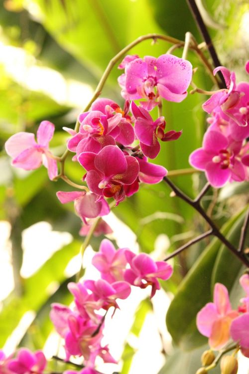 phalaenopsis orchid pink