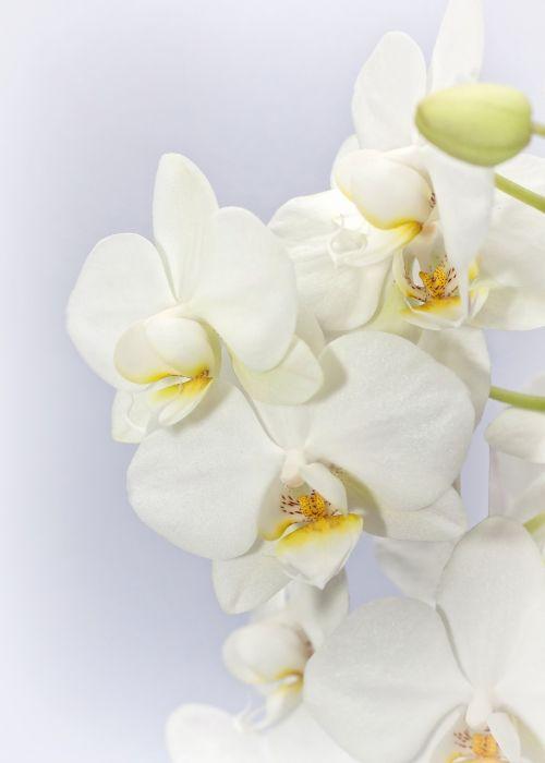 phalaenopsis orchid weis