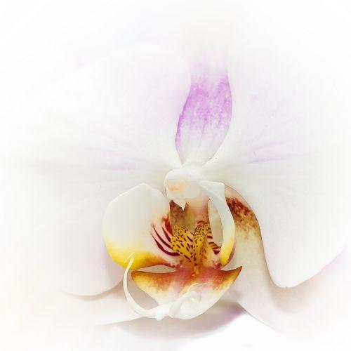 phalaenopsis orchid white