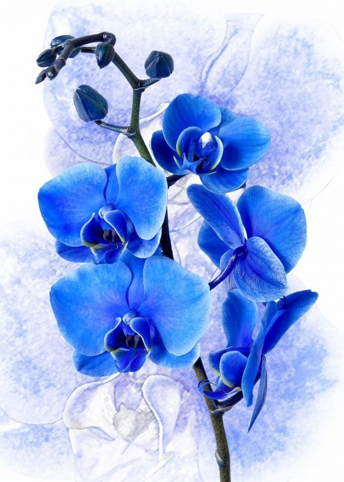 phalaenopsis orchid colored blue
