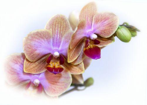 phalaenopsis orchid blossom