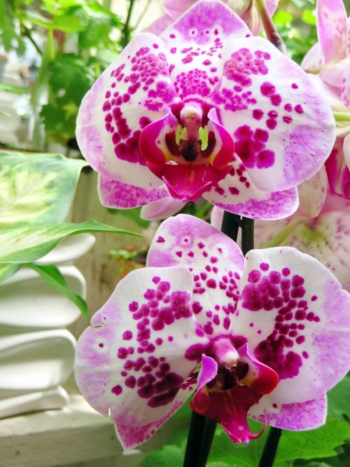 phanaelopsis orchid butterfly orchid