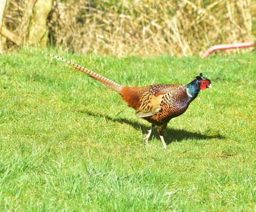 pheasant bird feather