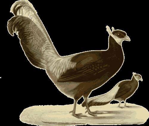 pheasant standing walking