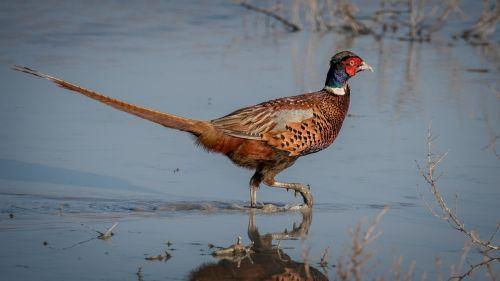 pheasant bird large