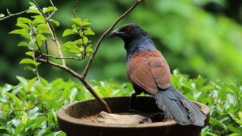 pheasant  bird  avian