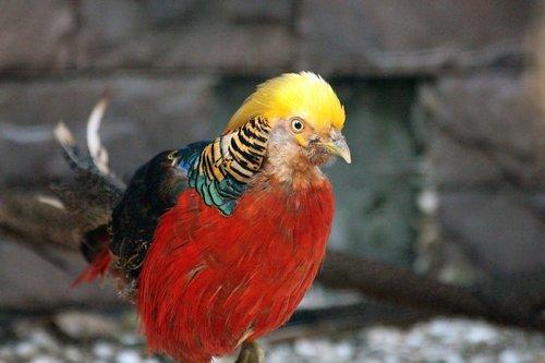 pheasant  bird  golden pheasant