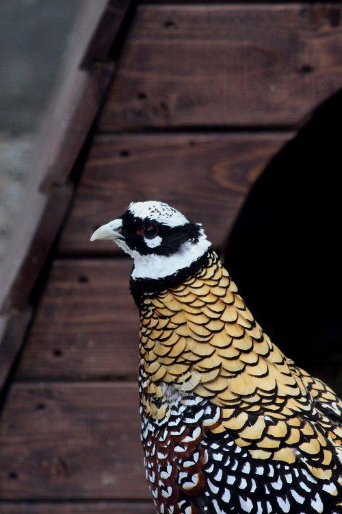 pheasant  royal pheasant  syrmaticus reevesi
