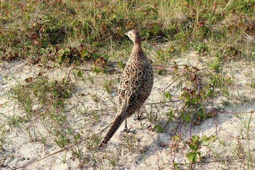 pheasant  wild chicken  chicken