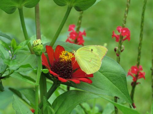 pheobus philea yellow butterfly butterfly on flower