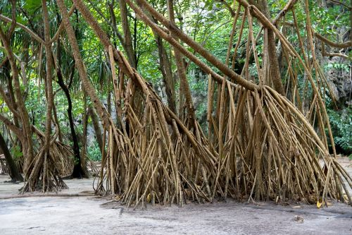 phi phi islands phi phi lay roots