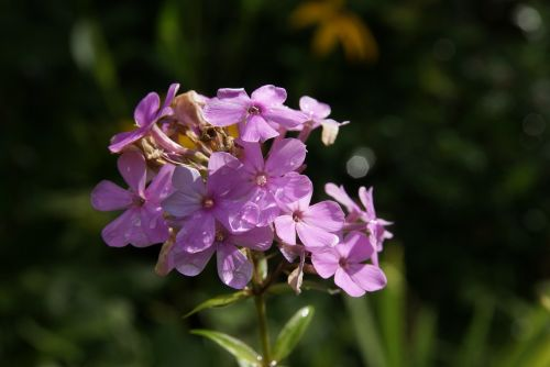 phlox flame flower pink