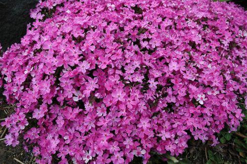 phlox flowers creeping phlox