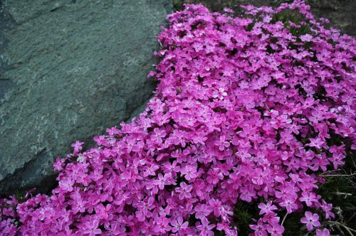 phlox creeping phlox garden