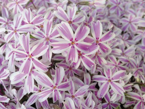 phlox pink white