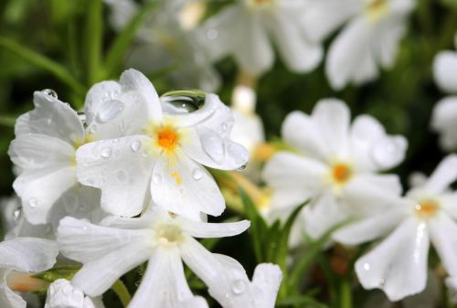 phlox white blossom