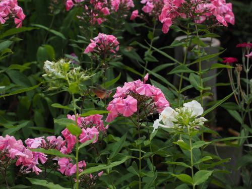 phlox lock-up herb plants polemoniaceae