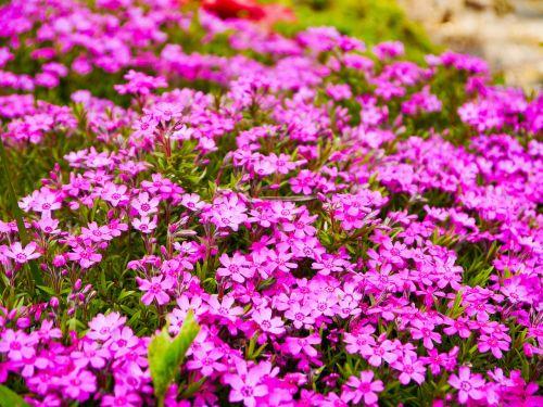 phlox flower garden flower