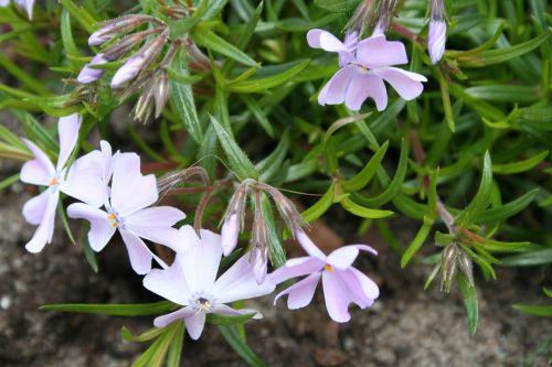 phlox crawl plant rockplant