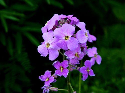 phlox flower garden