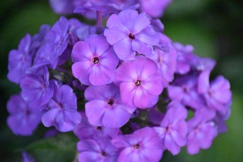phlox flower purple