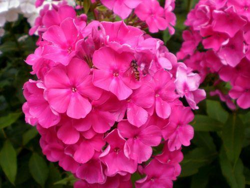phlox blossom bloom