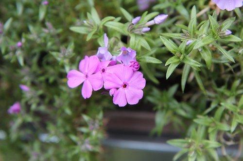 phlox  phlox pink  pink flowers