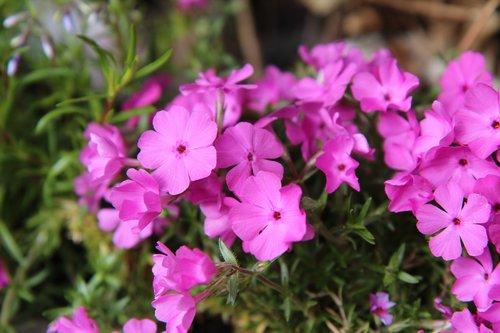 phlox  phlox pink  phlox spring